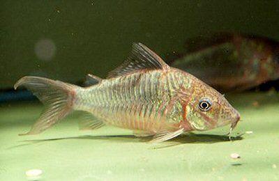 Brochis Splendens Aquarium Fish Aquarium Catfish Freshwater Aquarium Fish