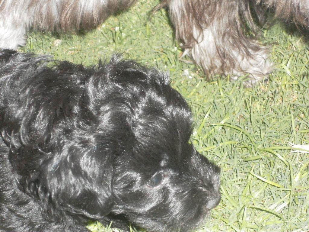 did you know that Havanese puppies have hair (soft and shiny) as we do.