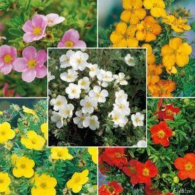 Potentilla Mix - 5 Pflanzen jetzt günstig in Ihrem MEIN SCHÖNER GARTEN - Gartencenter schnell und bequem online bestellen.