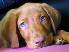 I Love These Red Fox Labradors Fox Red Labrador Red Labrador Fox Red Lab