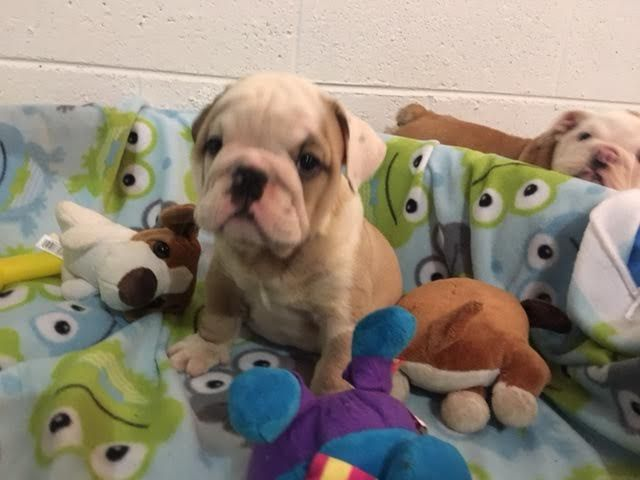 Bulldog Puppy For Sale In Richmond Va Adn 33054 On Puppyfinder
