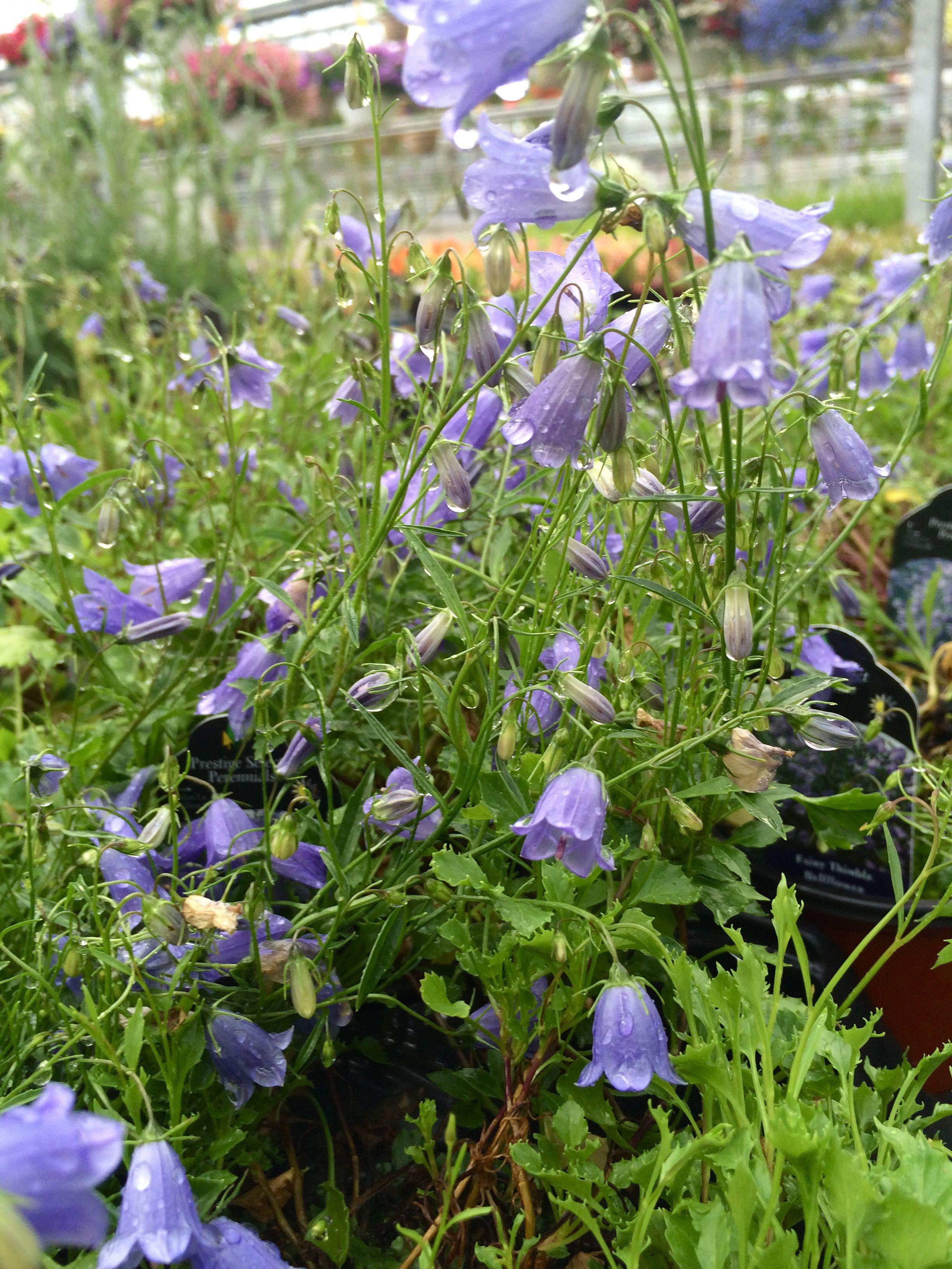 Campanula Fairy Thimble Bellflower Planting Flowers Blue Flowering Plants Plants
