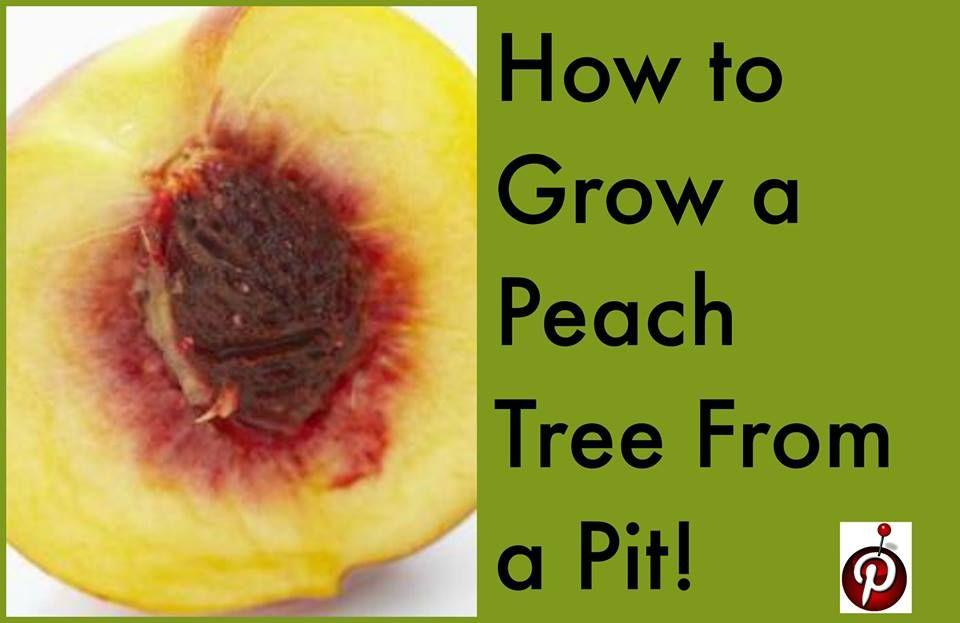 Grow a peach tree from a pit!   Peach, Peach trees, Indoor ...