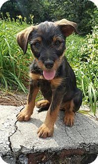 Allentown Nj Miniature Schnauzer Rottweiler Mix Meet Tristen A Puppy For Adoption Miniature Schnauzer Rottweiler Mix Puppy Adoption