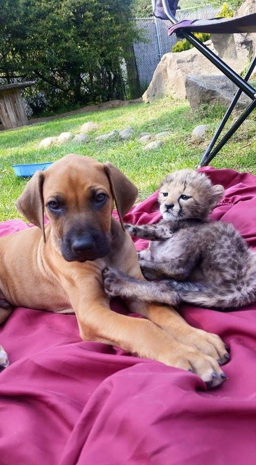 Pancake the Cheetah Cub Paired With Dayo the Ridgeback Pup, All is Right With Their Worlds - Neatorama