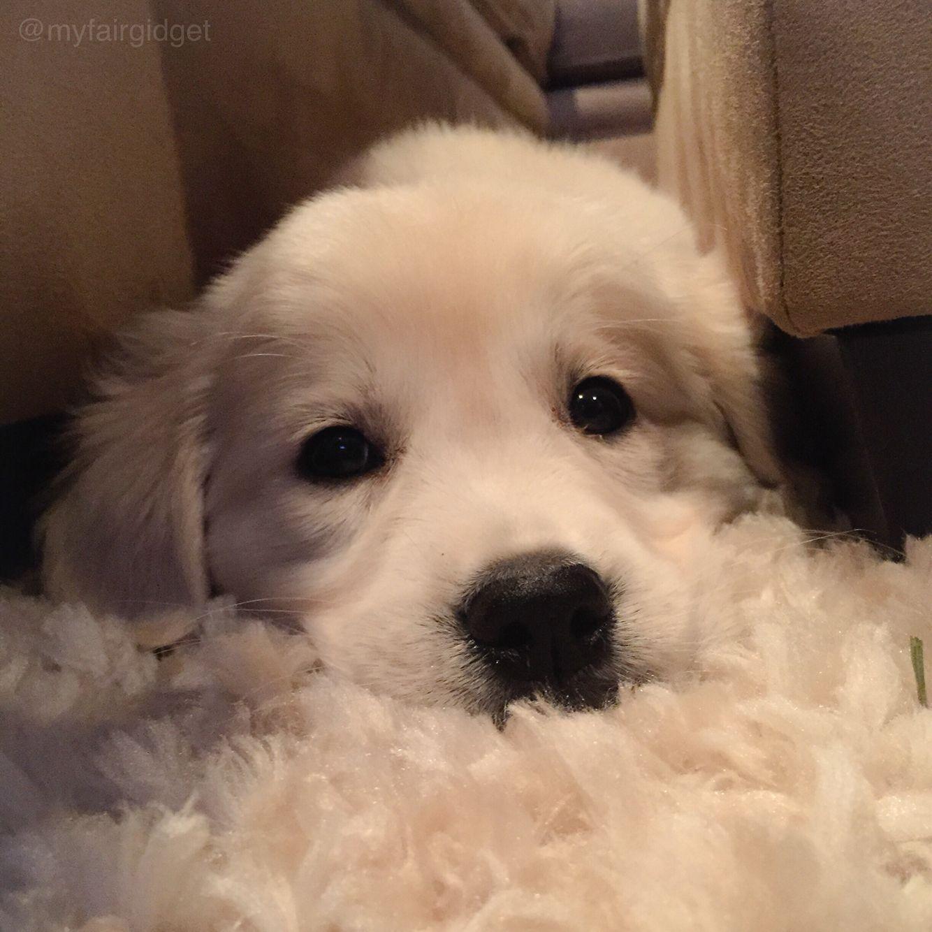 Baby Girl Gidget Lokelani The Little Puppy With Big Ideas An English Cream Golden Retriever Loving Living In Bea Little Puppies Puppies Golden Retriever