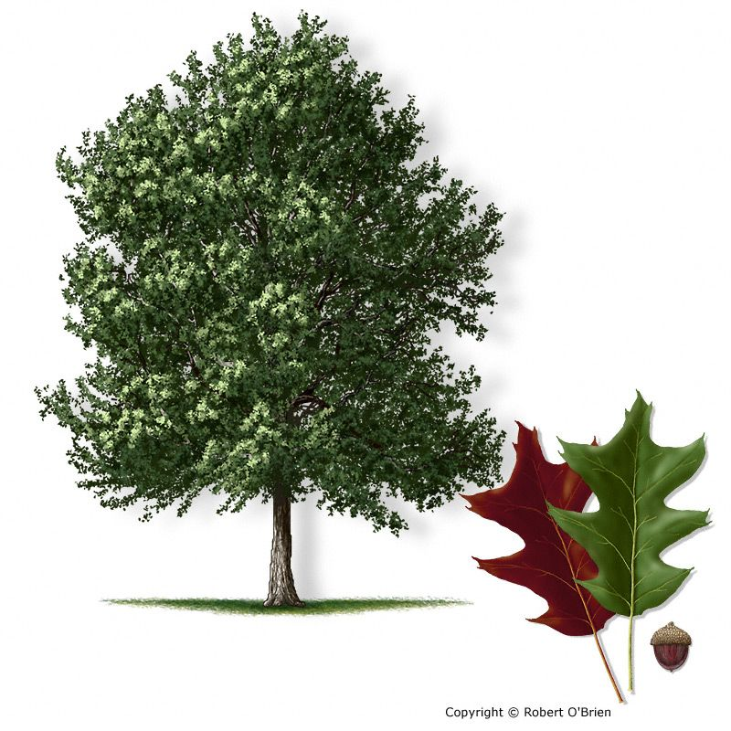 Cherrybark oak quercus pagoda sometimes called swamp red