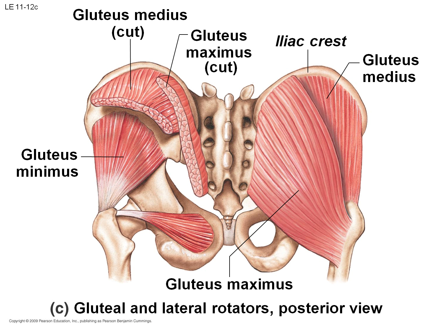 Image result for muscles of ileac crest | anatomy | Pinterest | Muscles