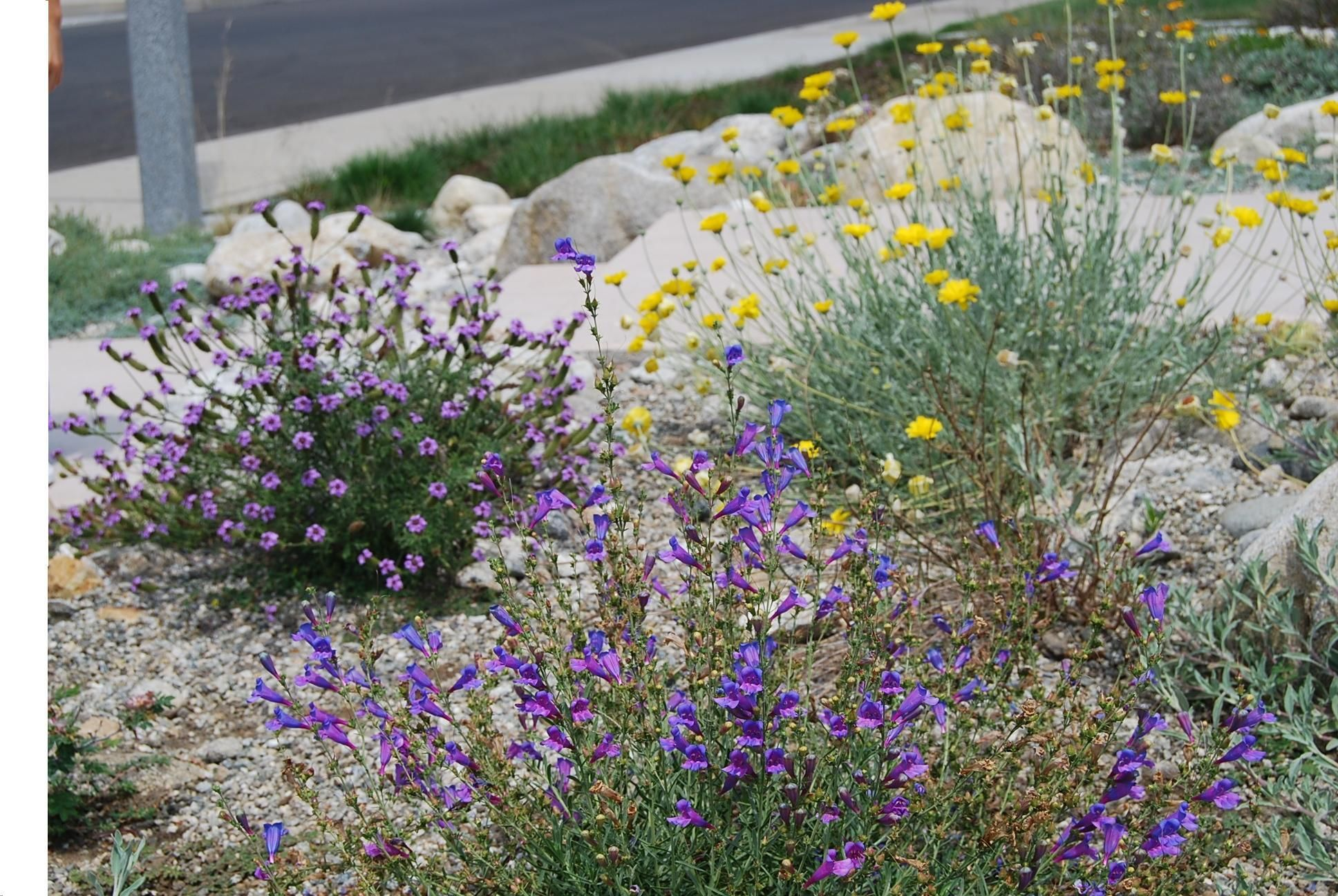 Drought tolerant plants california drought resistant for Landscape flowers and plants
