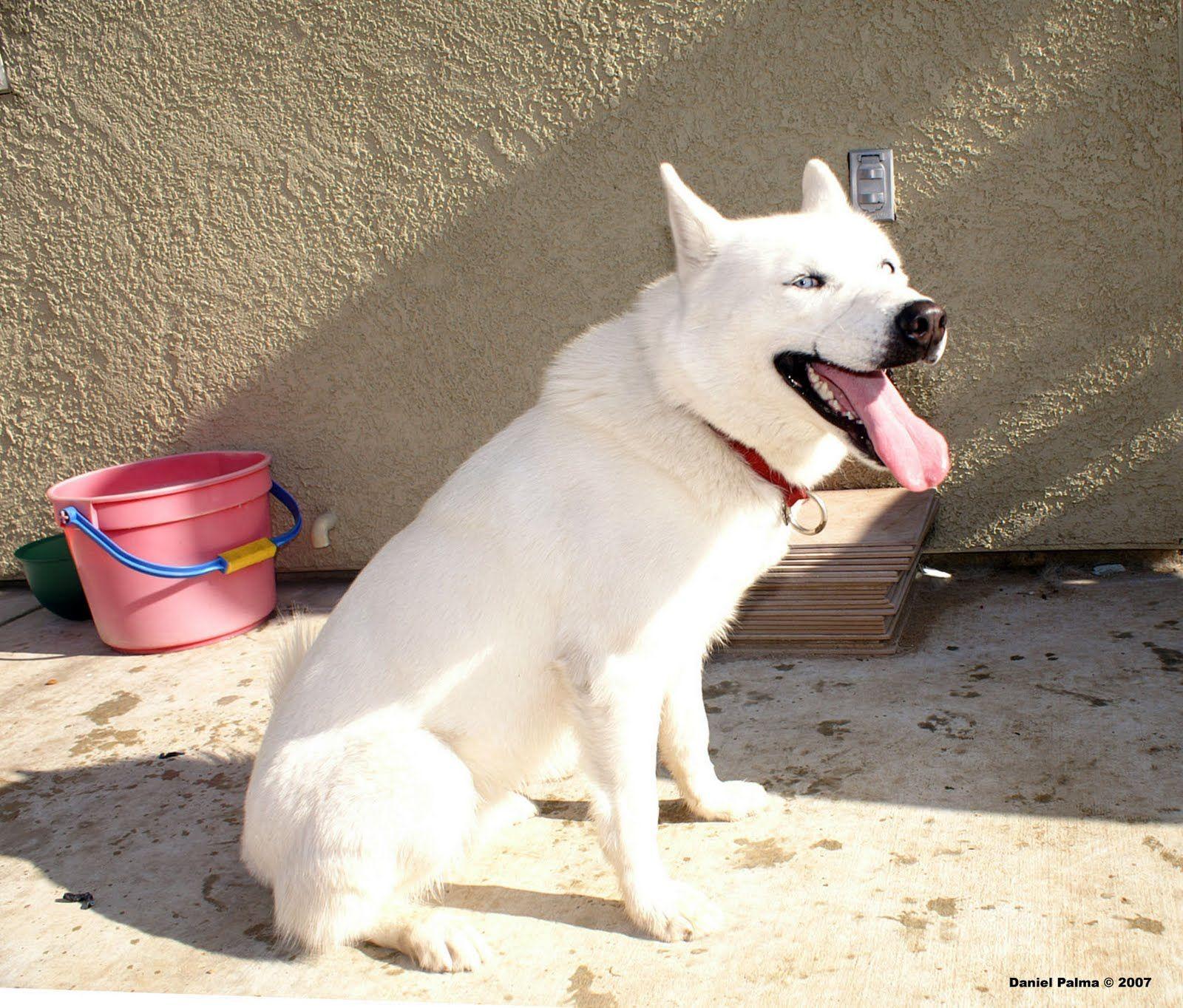 Pure White Siberian Husky