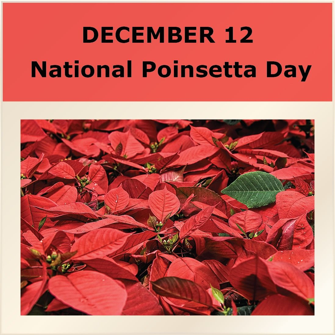 Dec 12 National Poinsettia Day Did You Know Poinsettias Could Make Dogs And Cats Sick Celebratethelittlethings Poinsetti Christmas Plants Poinsettia Day