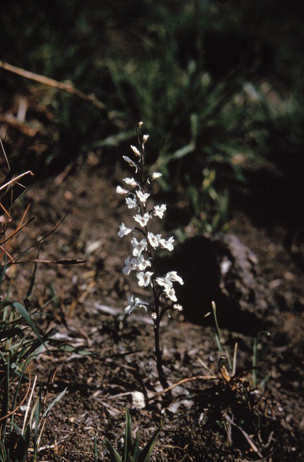 Holothrix aphylla