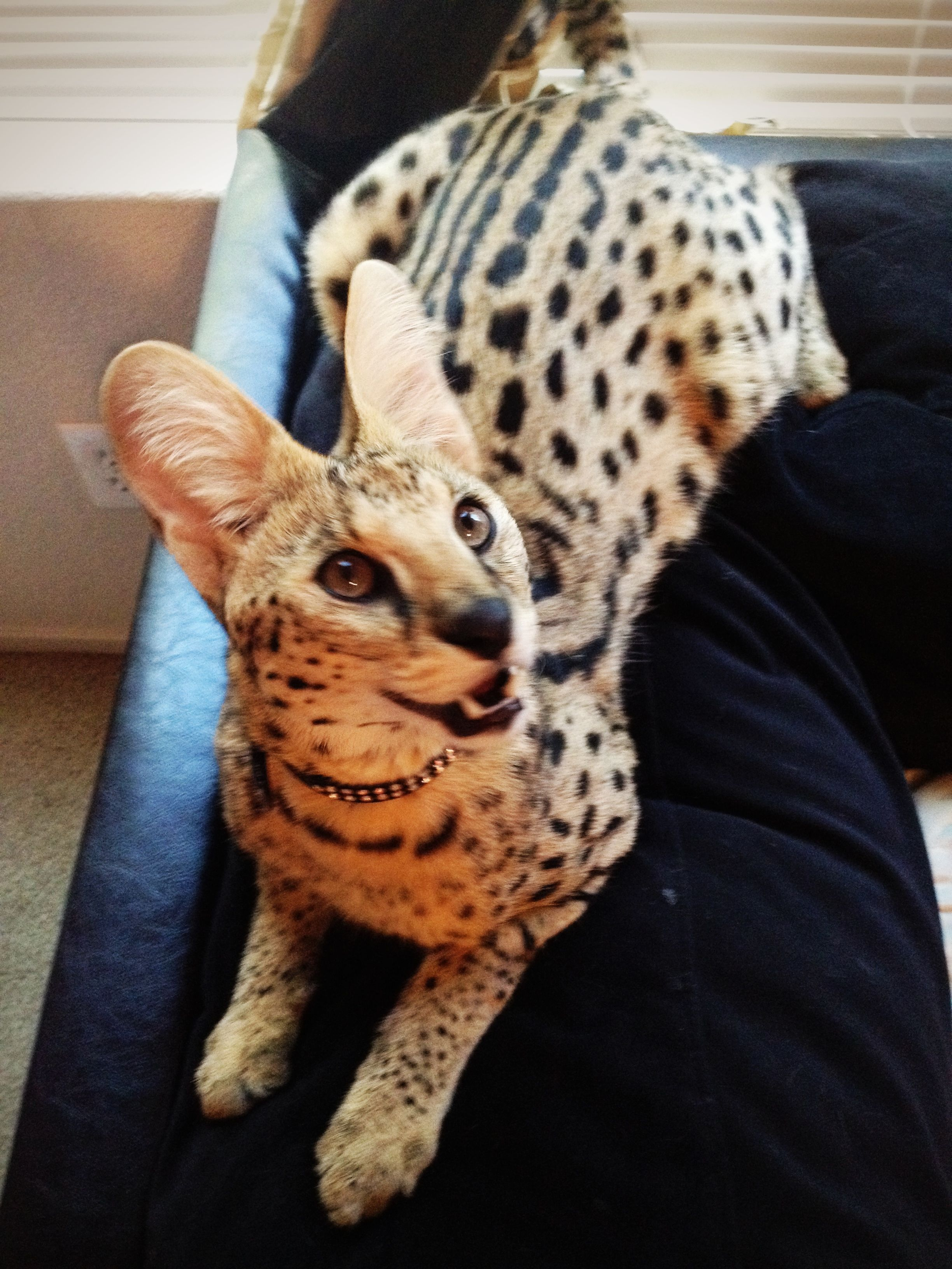 Zeus my 9 month old African Serval African Serval