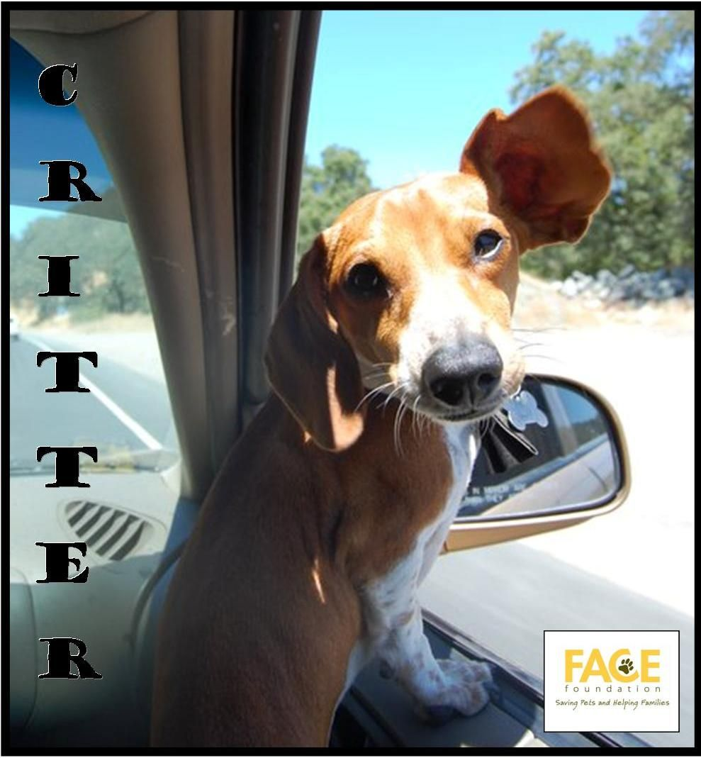 Meet Critter When This Adorable Duchshund Started Limping