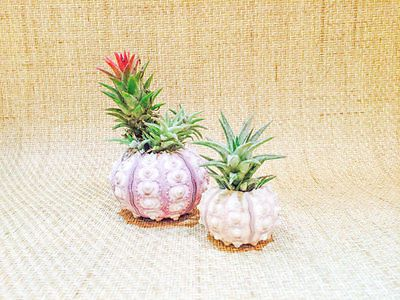 Handcrafted-Sea-Urchin-with-Pinapple-Air-plant-and-Gift-Box
