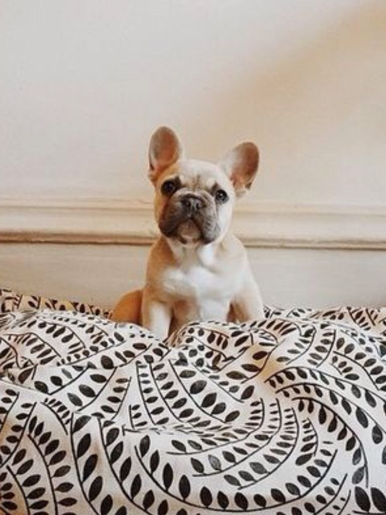 Stanley Jessie Ware S French Bulldog Puppy Puppy Love Cute