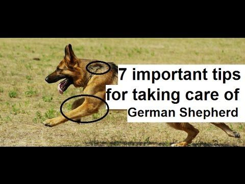 7 Important Tips For Taking Care Of The German Shepherd German
