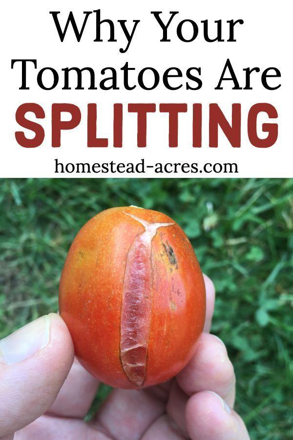 Photo of Tomaten splitten: Warum Tomaten splitten und wie man es aufhält – Homestead Acres