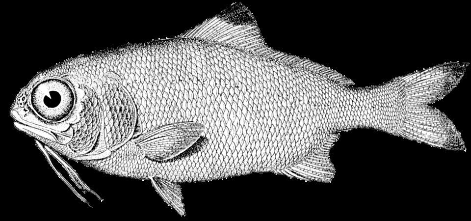 Free Image On Pixabay Fish Vintage Drawing Nature Sea In 2020 Fish Illustration Fish Drawings Vintage Drawing
