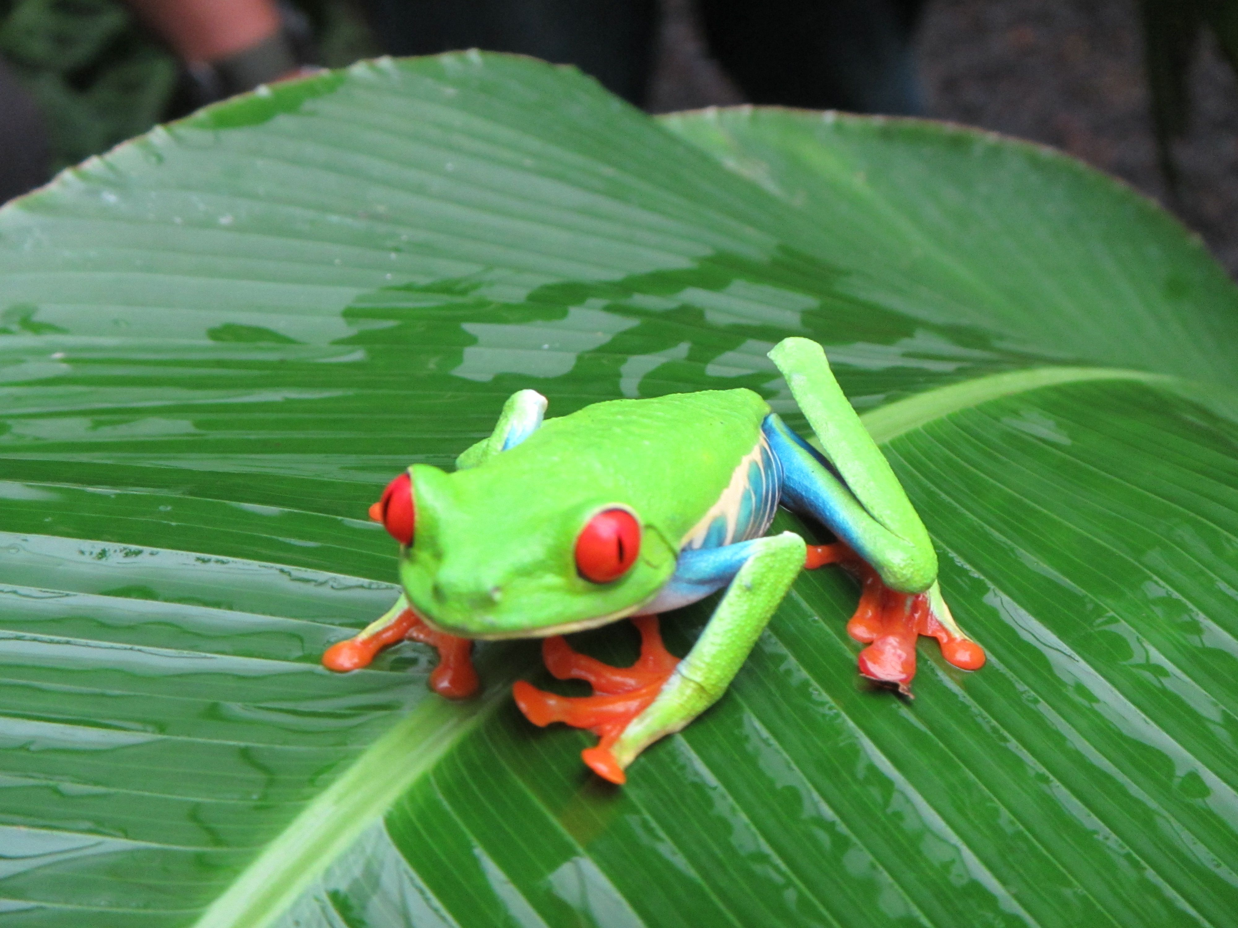 La Paz Waterfall Gardens: Costa Rica | el año sabático ... Are Green Frogs Poisonous