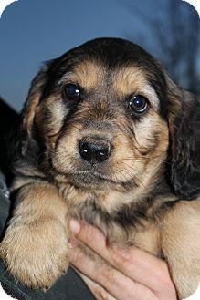 Bedminster Nj Golden Retriever Rottweiler Mix Meet Martina