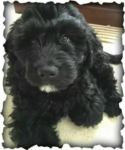 Newfypoo Big Dog Hypoalergenic Puppy Newfoundland Poodle