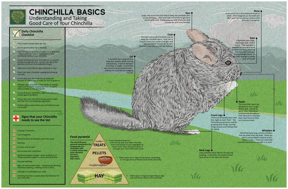 Chinchilla Infographic Small Pet Select Small Pets Chinchilla