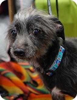 Memphis Tn Schnauzer Miniature Mix Meet Just Jack A Dog For