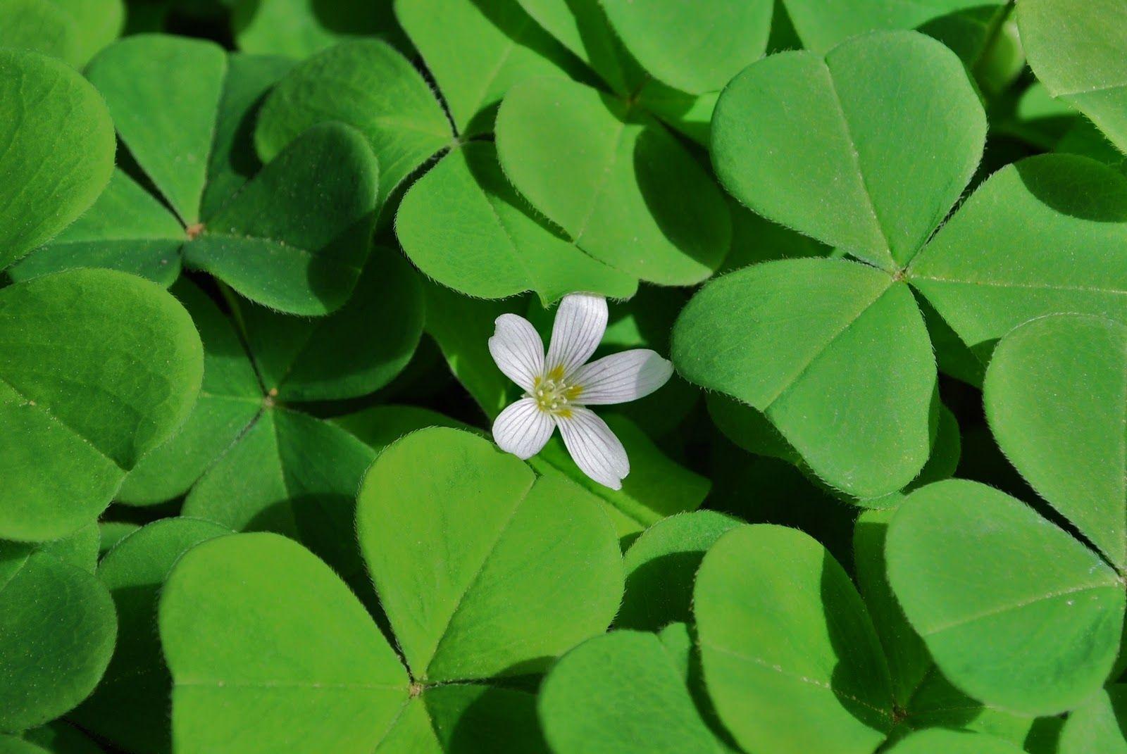 The national flower of Ireland is the shamrock. Irish