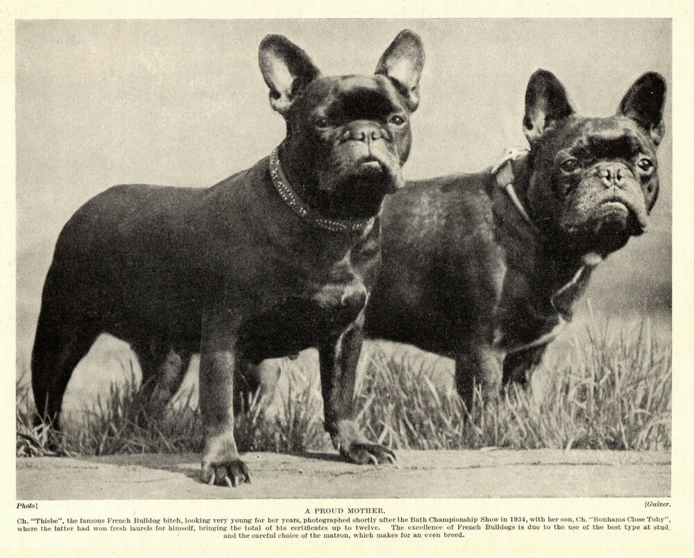 1930s Antique French Bulldog Dog Print Ch Thisbe Bonhams Close Toby 3282 K French Bulldog Art French Bulldog Bulldog