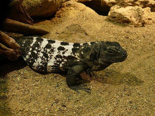 Ctenosaura oedirhina - Roatan-Schwarzleguan - De Queiroz's spiny-tailed iguana
