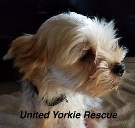 Scruffy S Photo Yorkie Yorkshire Terrier Yorkshire Terrier Pets