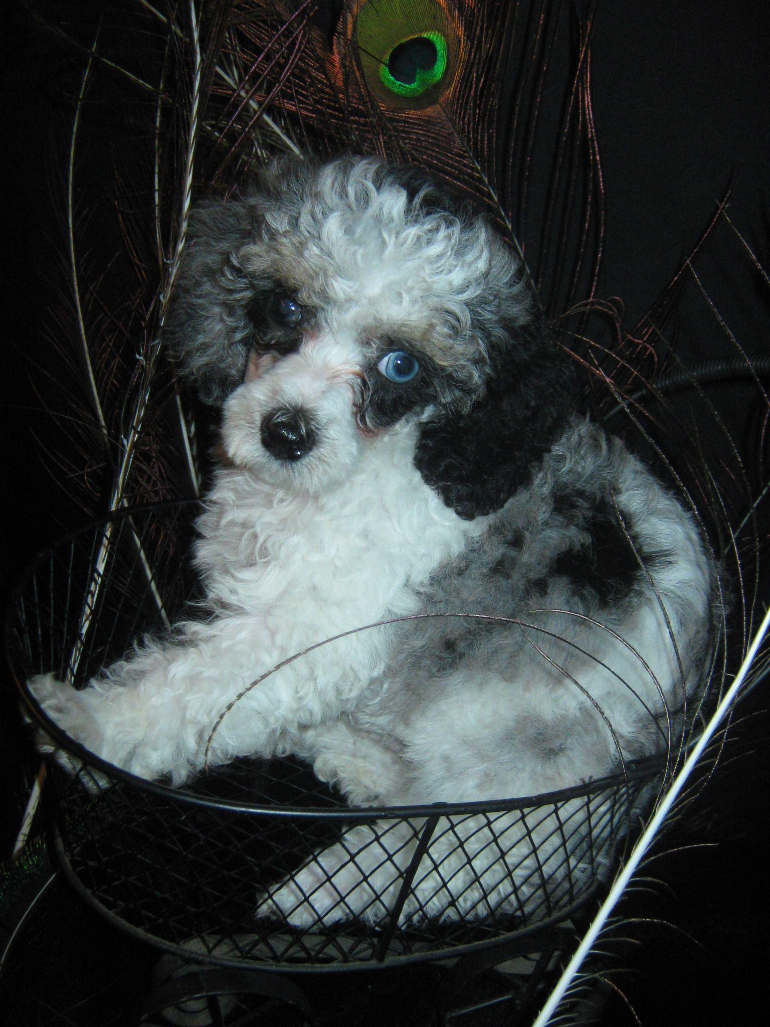 *rare* blue merle & white parti toy poodle | Poodle, Cute