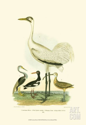 Louisiana Heron Print by Alexander Wilson at Art.com