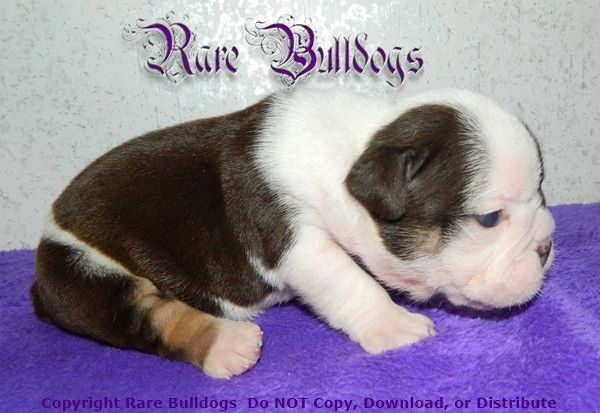 Available Soon Akc Chocolate Tri English Bulldog Boy Meet Munch