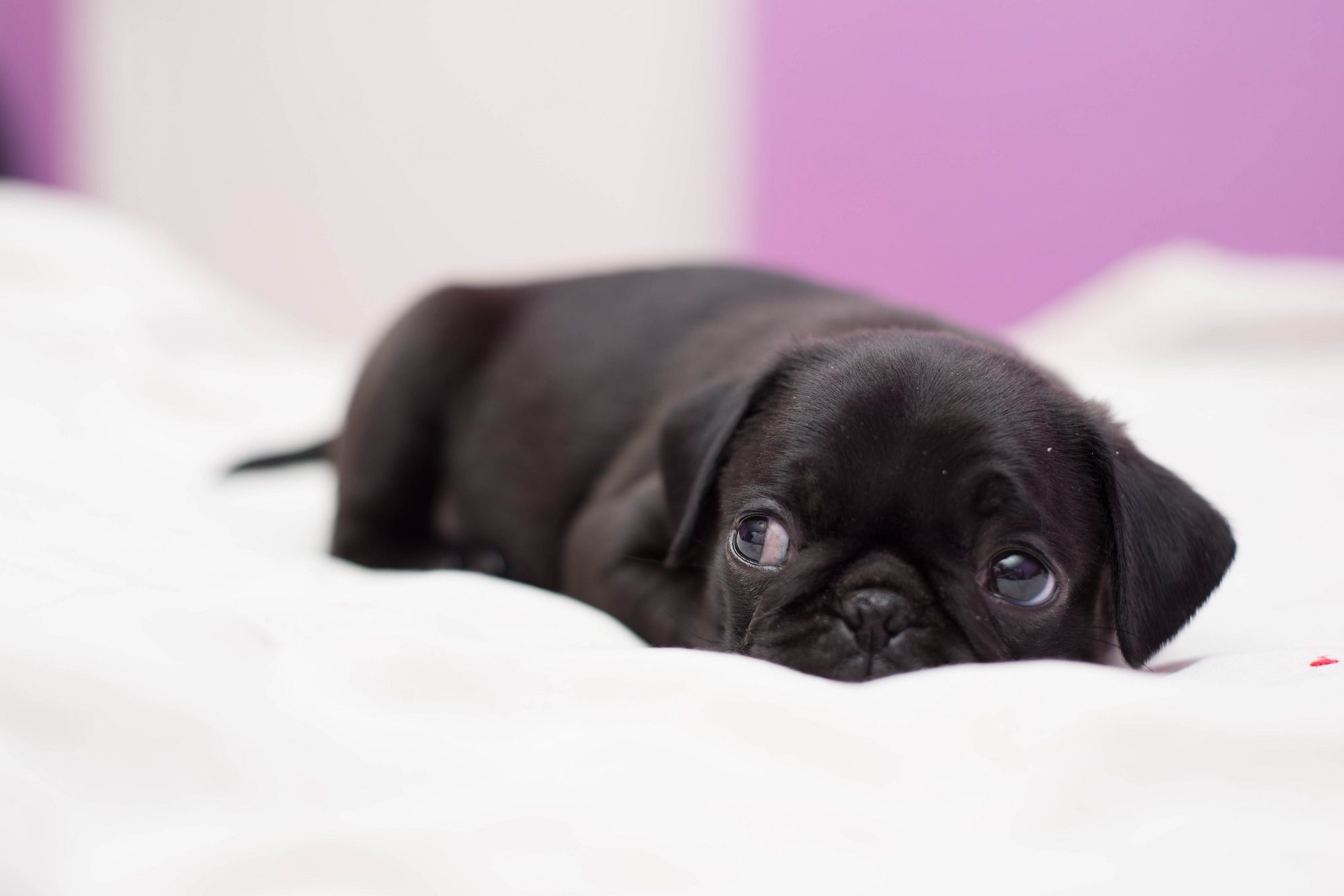 Tired Baby Pug By Minhvisual Deviantart Com On Deviantart Baby