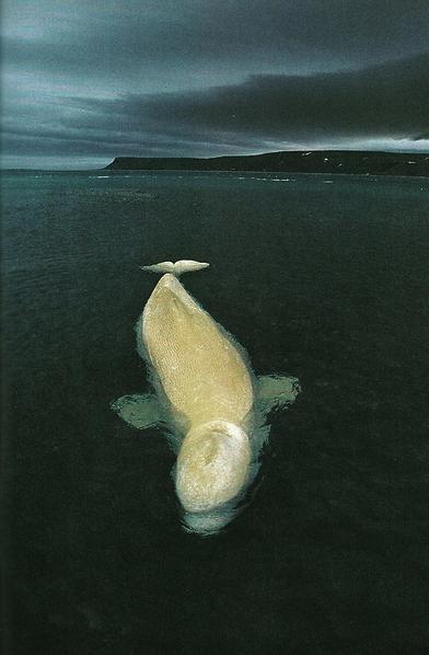 Female Beluga Whale In Cunningham Inlet, Canada