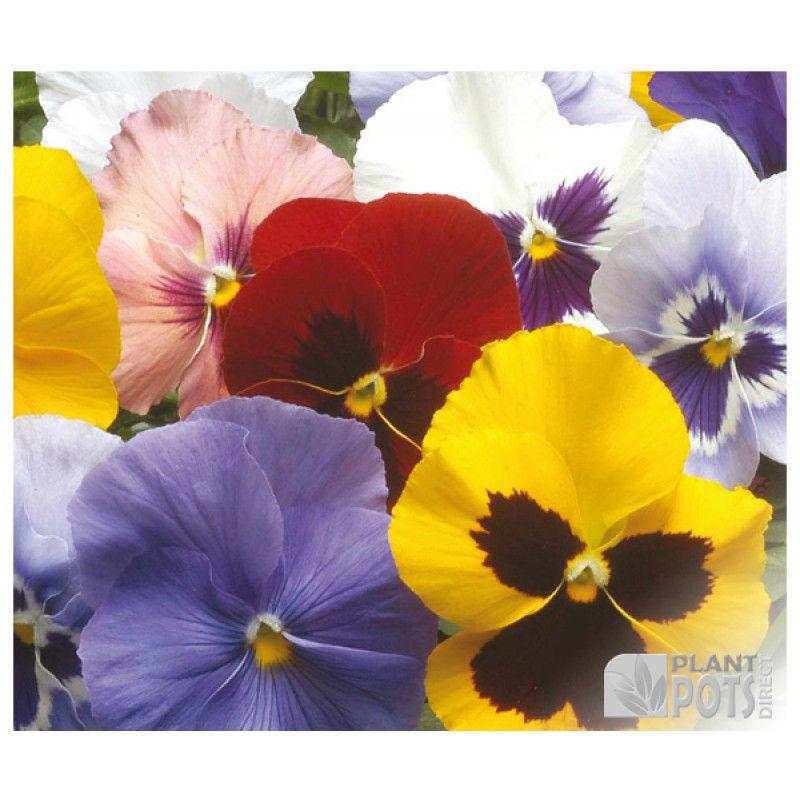Pansy Winter Flowering Mixed Seeds Pansies Flowers Pansies Flowers