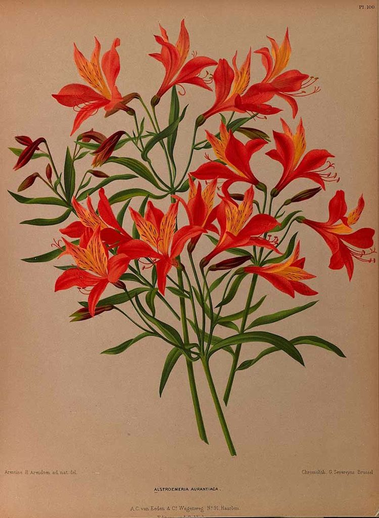 Alstroemeria aurea illustration - circa 1881