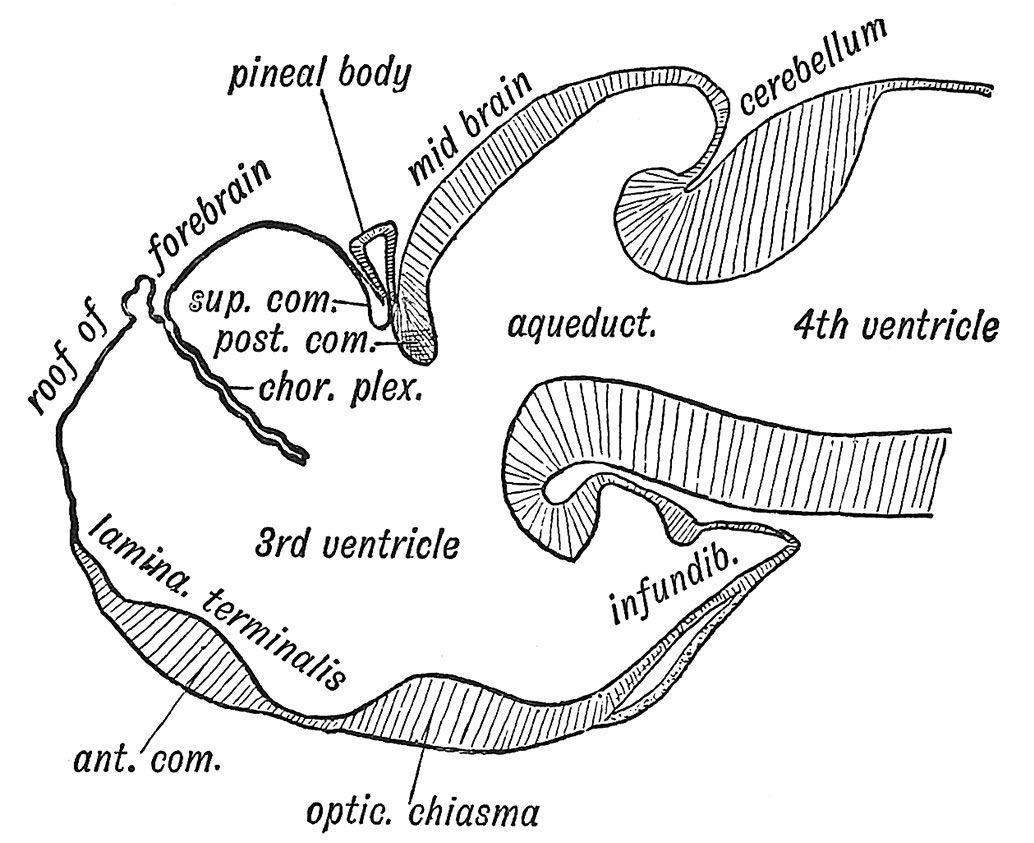 Larval Fish Brain
