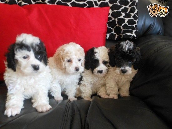 Pedigree Toy Blk White Male Parti Poodle Puppy Puppies Poodle