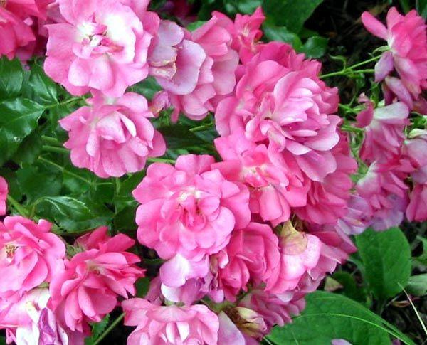 Flower carpet roses pink google search jeans bucket list flower carpet roses pink google search mightylinksfo