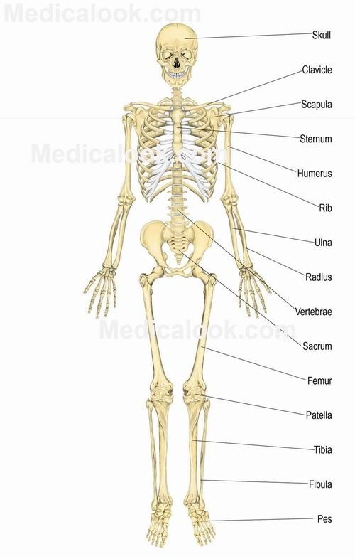 anatomy and physiology of the human skeleton and muscles Anatomy arcade makes basic human anatomy come alive through awesome  games,  poke-a-muscle is next followed by a digestive game called eat me and  eventually a very exciting, whole body system game called machine man.