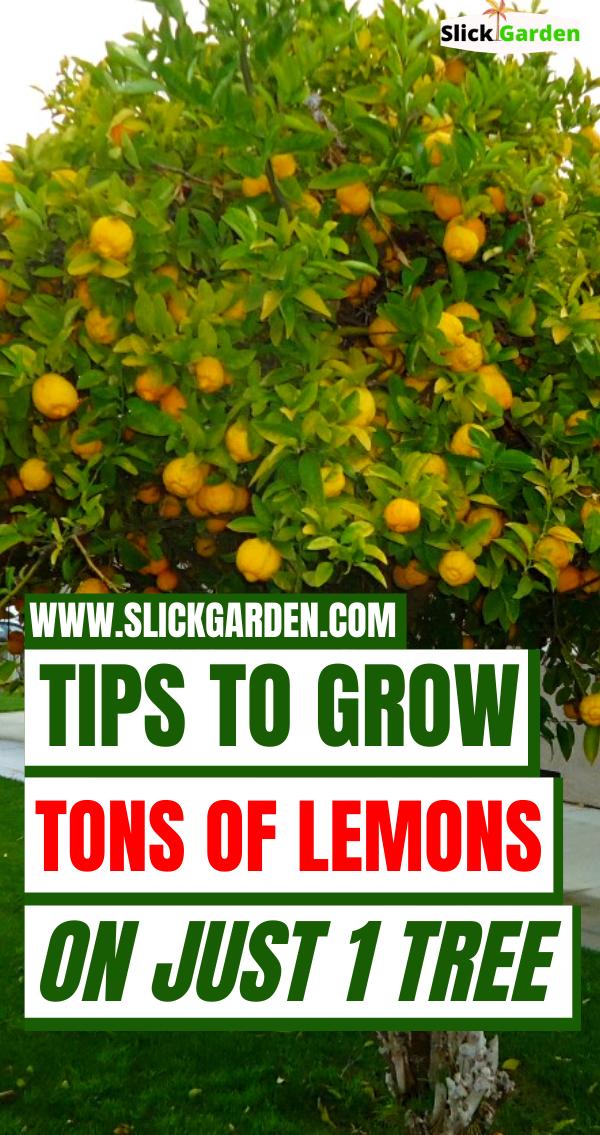 Tips To Grow Ton Of Lemons On Just 1 Tree Slick Garden Lemon Plant Lemon Tree Potted Pruning Fruit Trees