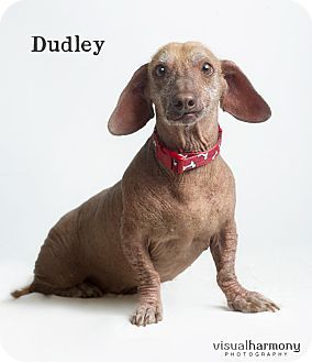 Chandler Az Dachshund Xoloitzcuintle Mexican Hairless Mix Meet