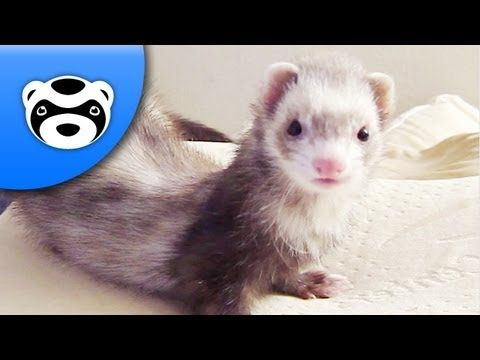Step Aside Dramatic Chipmunk Dramatic Ferret Is Here Ferret Pet Ferret Funny Ferrets