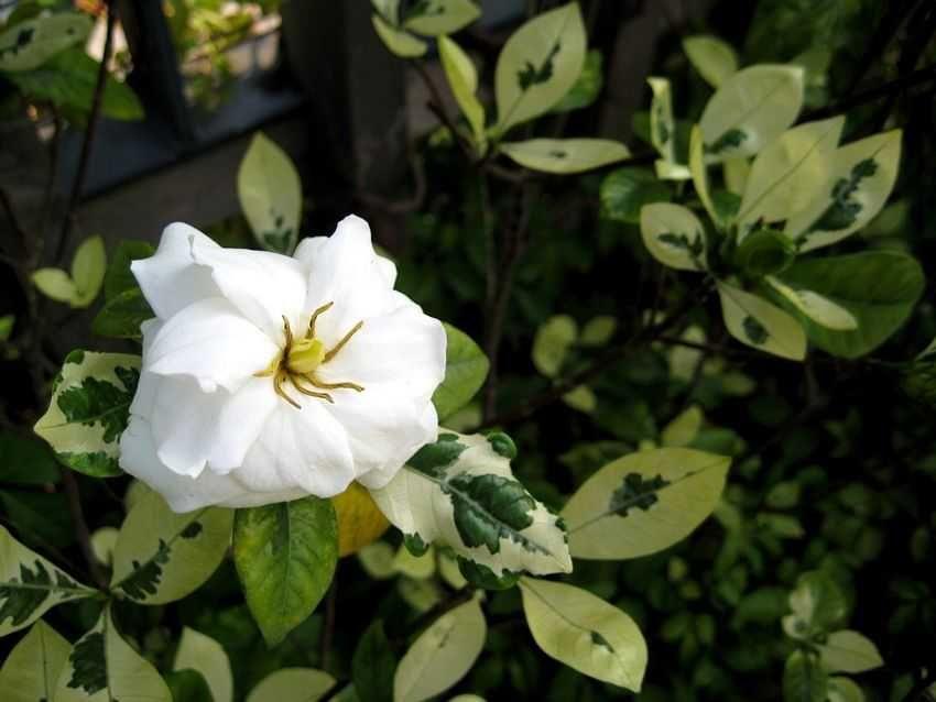 Gardenia Jasminoides Variegata 花葉梔子 White Flowers Flowers