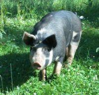lard pastured pork