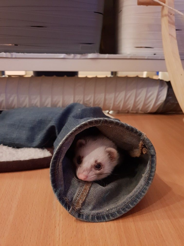 Pin By Country Life Please On Ferrets In 2020 Ferret Animals