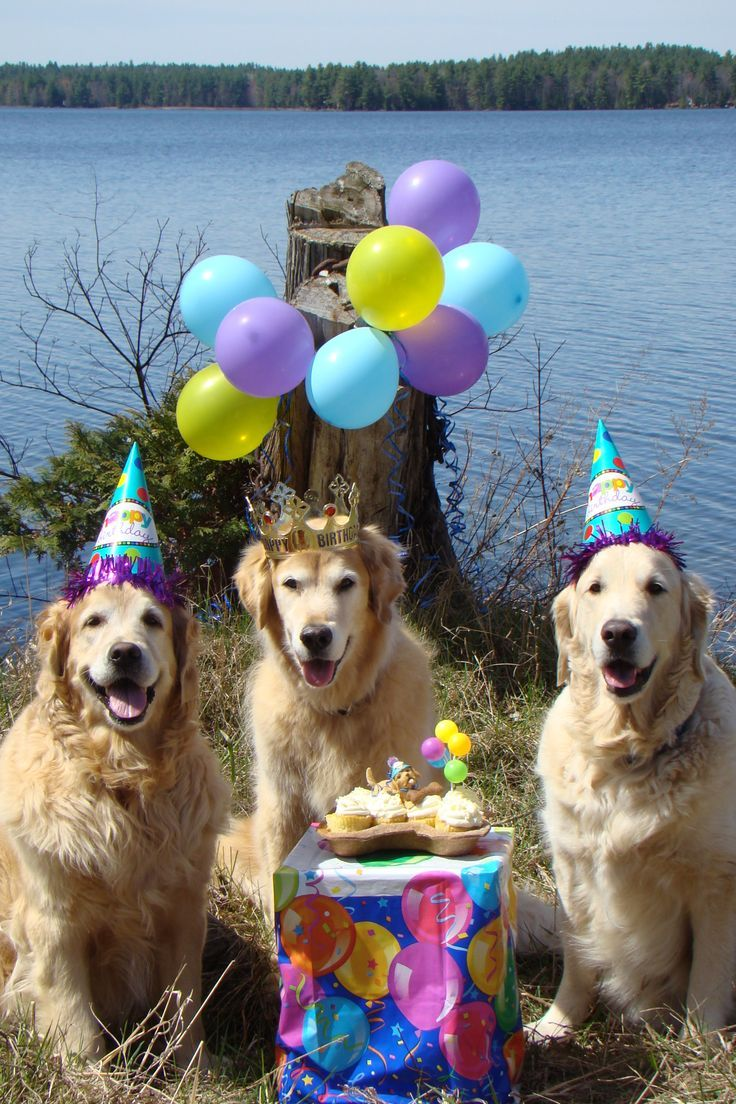 Golden Retriever Birthday Meme : golden, retriever, birthday, Wrapping, Paper, Features, Photograph, Golden, Retriever, Tucked, While, Weari…, Happy, Birthday, Birthday,